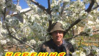 ЧЕРЕШНЯ весной| ВРЕДИТЕЛИ ЧЕРЕШНИ| Органическое земледелие