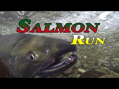 Goldstream B.C. Salmon Run