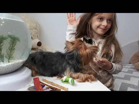 Йоркширский терьер: вся правда и минусы содержания/Йорк/yorkshire terrier