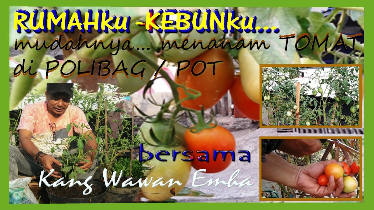 Rumahku Kebunku Mudahnya Menanam Tomat Di Polibag Pot
