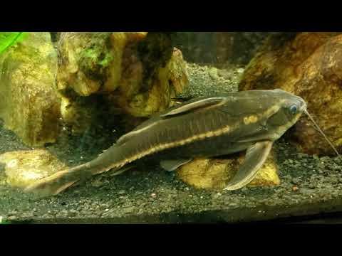 Striped Raphael Catfish (Platydoras Armatulus)