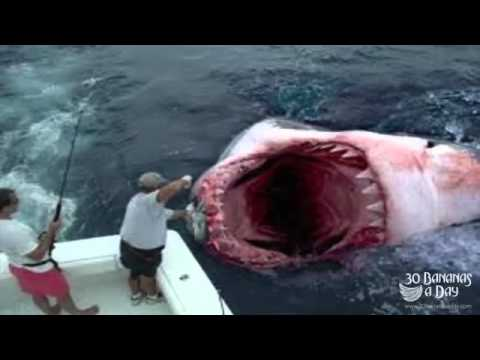 Game Fisherman Hook Megalodon Shark Off Florida Coast