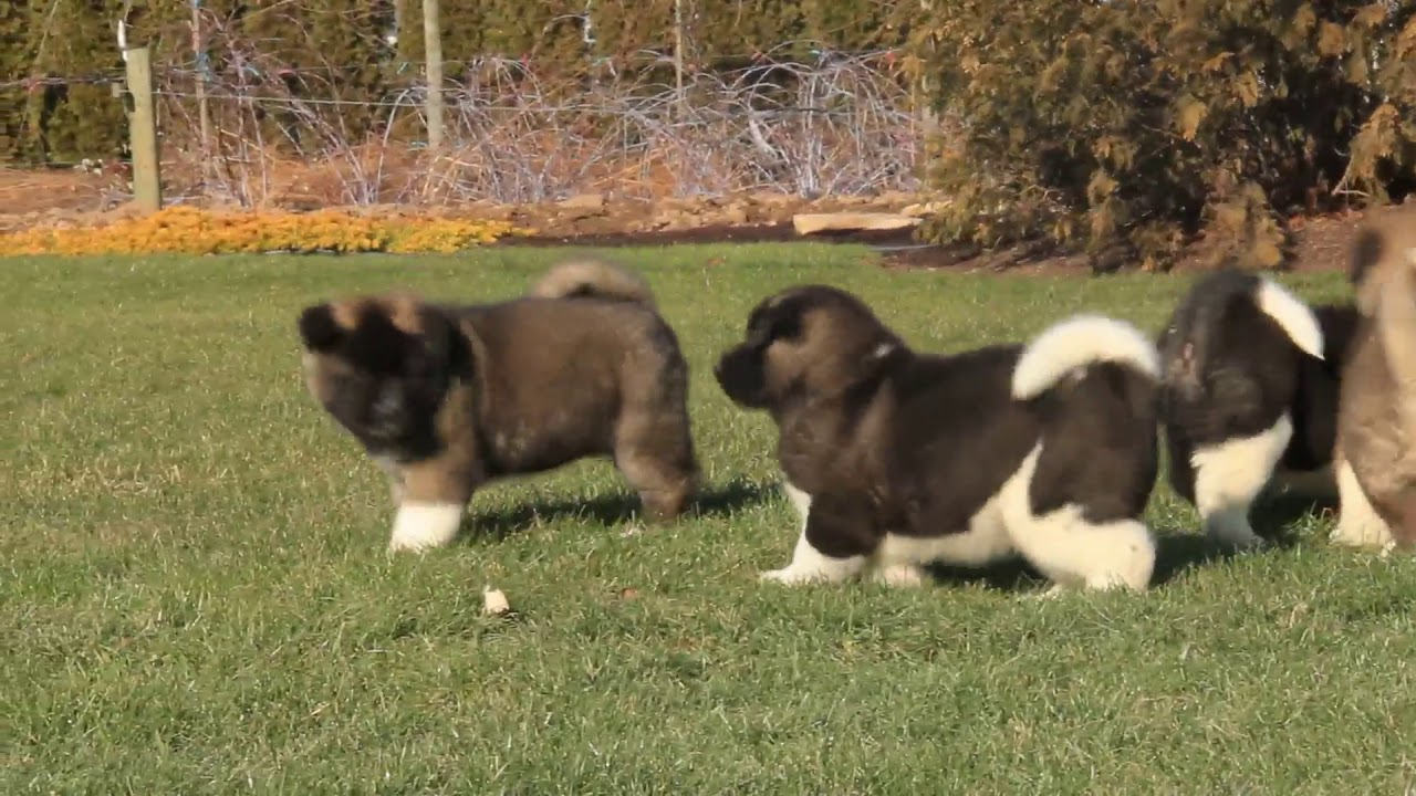 Akita Puppies For Sale Youtube
