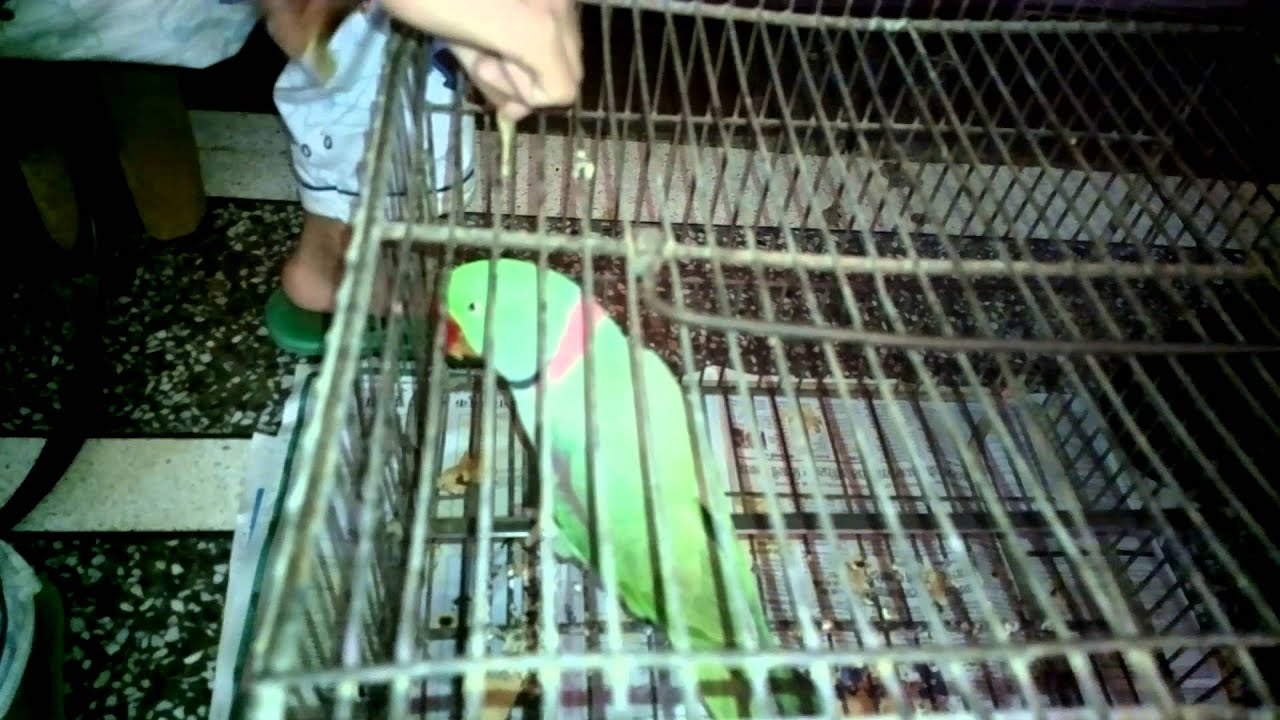 about parrot in hindi Parrots meaning in hindi : get meaning and translation of parrots in hindi language with grammar,antonyms,synonyms and sentence usages know answer of question : what.