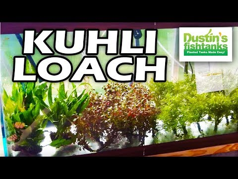 Kuhli Loach: Bottom Feeder Aquarium Fish