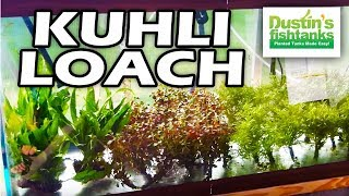 Bottom Feeder Aquarium Fish: Kuhli Loach