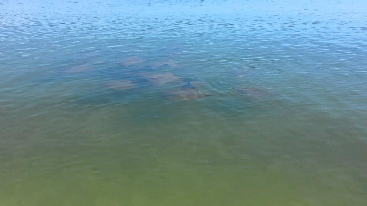 School Of Stingrays Crooked Island Mexico Beach Fl