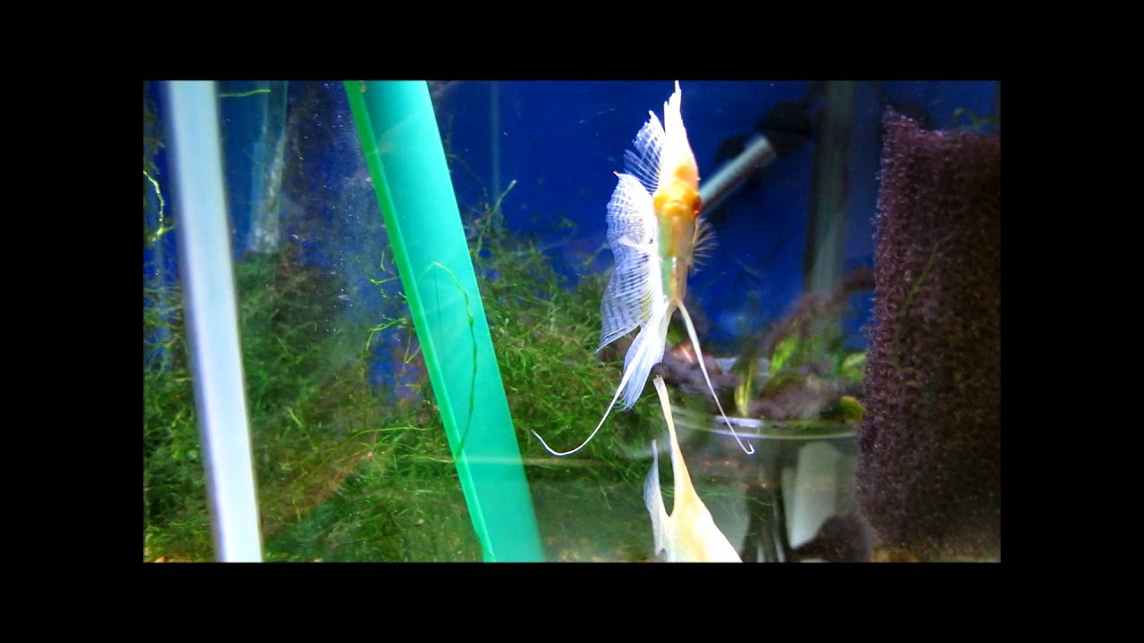 Spawning pair Albino Silver Pearlscale Angelfish - YouTube