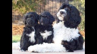 Всё о породе! Португальская Водяная Собака. Всё о собаках!