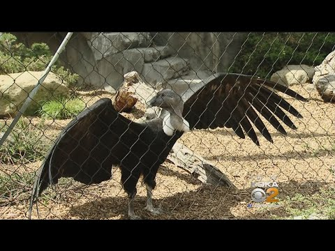 National Aviary Sets Up Web Cam In Andean Condor Nest
