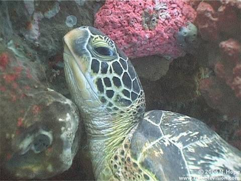 Lekuan, Bunaken, Bunaken Island, scuba diving, underwater, diving, Two Fish Divers, Indonesia, Manado, Sulawesi, turtle, green turtle, Chelonia mydas, nature, travel, tropical, fish, coral, reef, Nick Hope, Bubble Vision, yt:quality=high