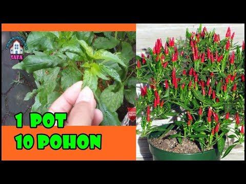 # TIS # BASMI Daun Keriting &Bunga Rontok-Cabe Anda Jadi Sehat+Lebat Buah!! Health Chili Free Pests