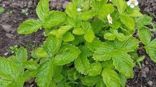 Аптека в огороде! Сбор и заготовка лекарственных трав и листьев для чая.