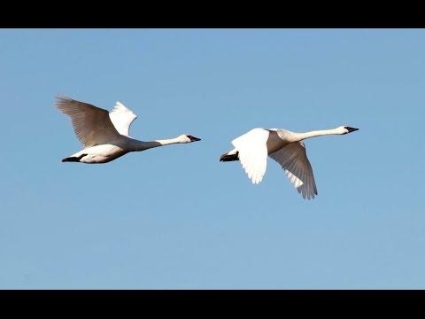 Migratory Birds at Skagit Valley 4K UHD