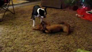 Annie The Dachshund's Death Charge Vs Shelby The Boston Terrier