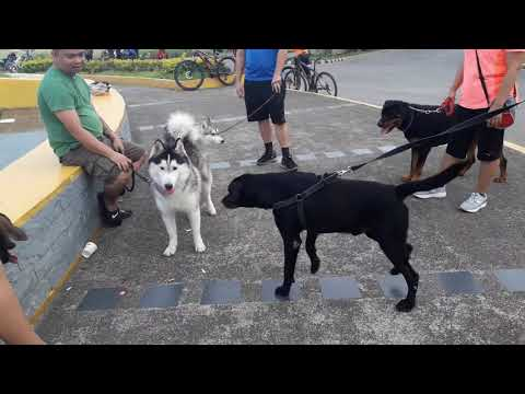 My Friendly Belgian Malinois and the pack bonds, Siberian Huskies getting ready for dog show