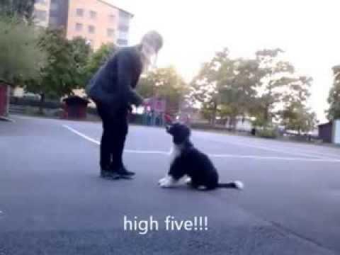 Mio (portuguese water dog) 6 månader tränar