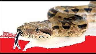 Suurin käärme maailmassa - jättiläinen boa constrictor
