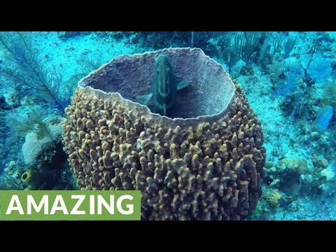 Giant Barrel Sponges Are The Longest Living Animals On The Planet