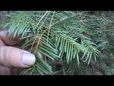 grand silver fir,identification and discussion,utilizing natural resources