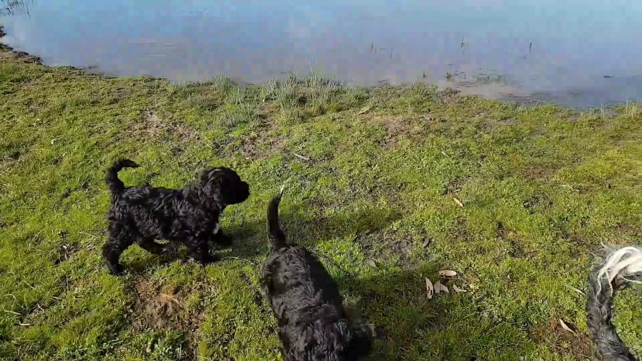 Bluegrace | Portuguese Water Dogs