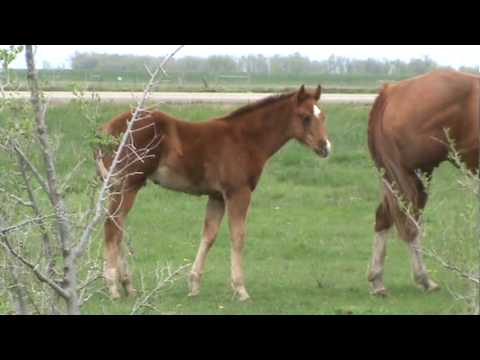 BR PLAIN BROWN RAPPER - AQHA - APHA 2010 Colt (name Pending)
