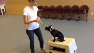 Boston Terrier Fun: Training The Fundamentals
