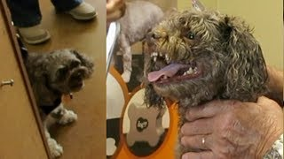 Mean Russian Bolonka Tamed In Minutes By Professional Groomer
