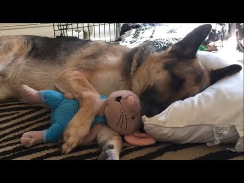 German Shepherd takes a Happy Nap