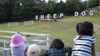 羊を追うオーストライアン・シープドッグ.