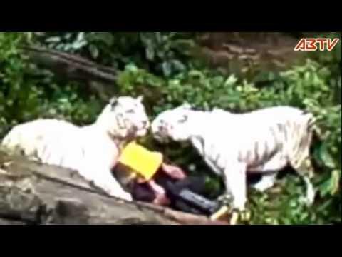 Dimakan Harimau Hidup2.animal Attack.hati2 Cantik