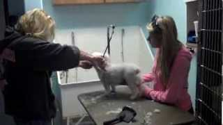 Candy and Parker Costa groom a poodle in Lancaster California
