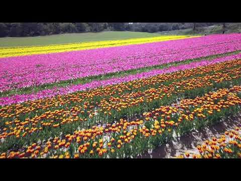 Champ de tulipes - Lurs
