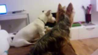 Jack Russell And Yorkshire Terrier