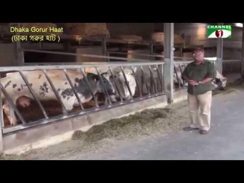 Belgian blue cattle নিয়ে প্রতিবেদন  - শাইখ সিরাজ