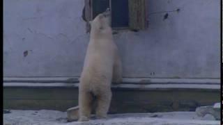 Lední medvědi - Zajatci ledu