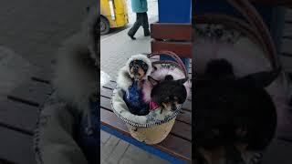 Мини-собаки
