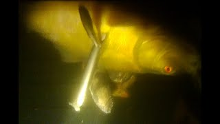 Spearfishing Crucian Tench Подводная охота Карась Линь