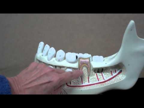 Basic dental anatomy