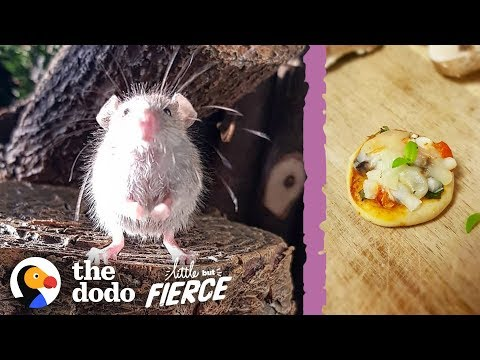 Microscopic Baby Mouse Grows Up And Eats Tiny Pizzas | The Dodo Little But Fierce