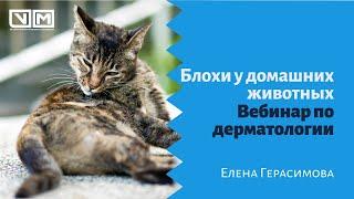 Блохи у домашних животных. Вебинар по дерматологии
