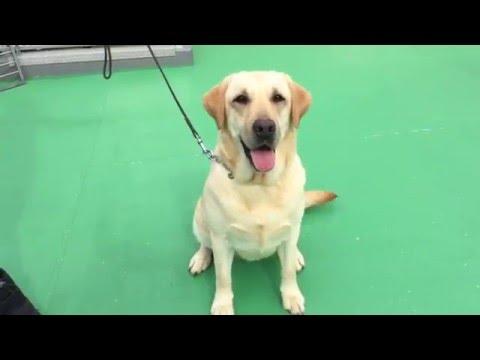 ラブラドール  イエロー  女の子  訓練済み犬  No-1097