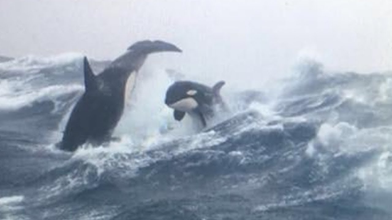 Download 10 AMAZING FACTS About Orcas