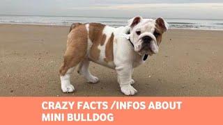 Miniature Bulldog: A Tiny Version of a Classic Breed