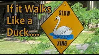 Duck Walking a Motorcycle - How not to - Or Walks Like a Duck