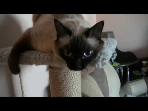 Сиамская кошка разговаривает. (Siamese cat talking.)