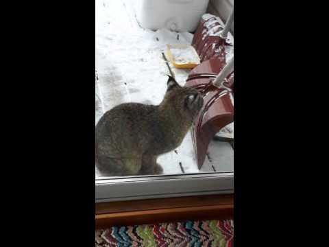 Bobcat Roams Backyard Porch