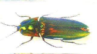 Насекомые 24 жук щелкун