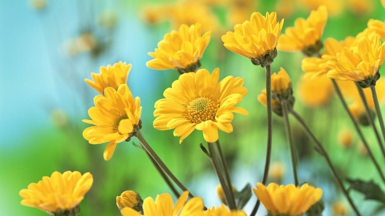 Daisy Family Hd Beautiful Flowers 2018 By Rsr 3friends Youtube