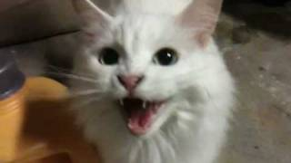 Deaf cat meows for food